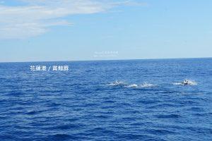 今日熱門文章:花蓮港-鯨世界賞鯨豚-瓶鼻海豚追船戲浪