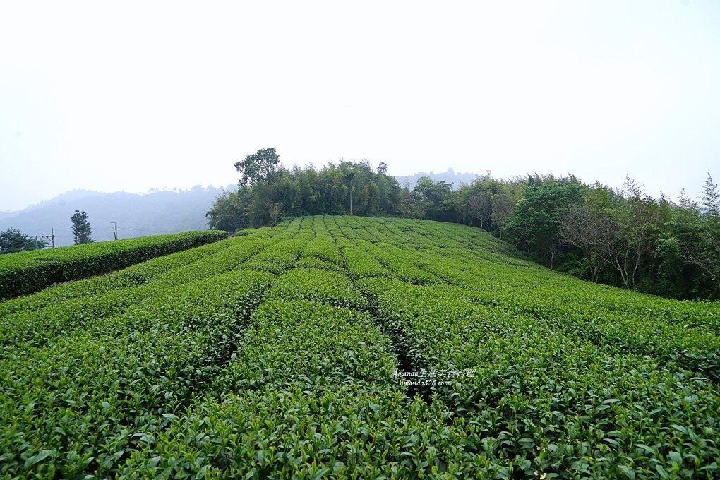 採茶,採茶裝,採茶體驗,松山製茶,松山製茶廠,烏龍茶,紅茶,紅茶烏龍,茶園,茶葉,買茶葉,金萱茶,鐵觀音,阿里山,阿里山採茶體驗,龍美